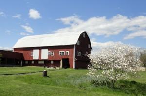 Barn with Dogwood